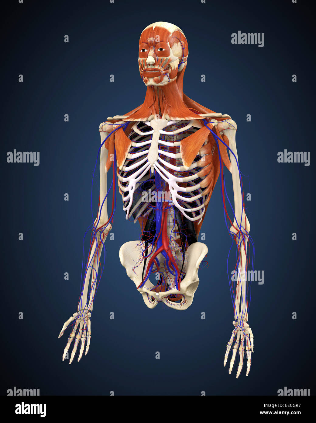 Human upper body showing bones, muscles and circulatory system Stock ...