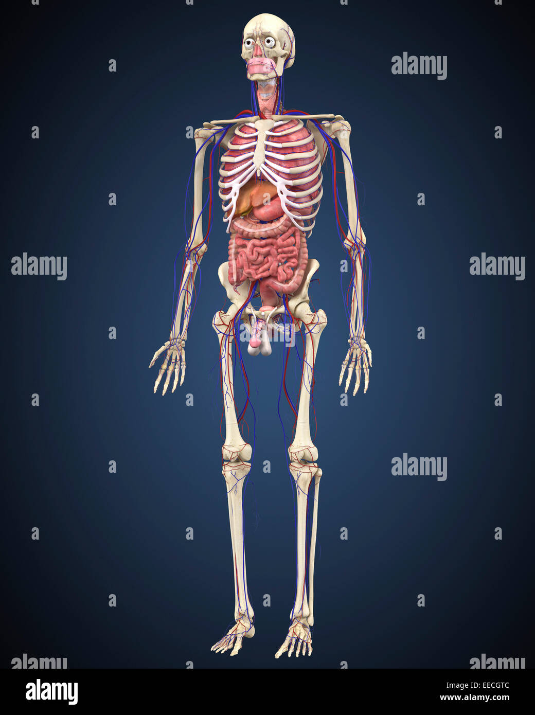Human skeleton with organs and circulatory system Stock Photo ...