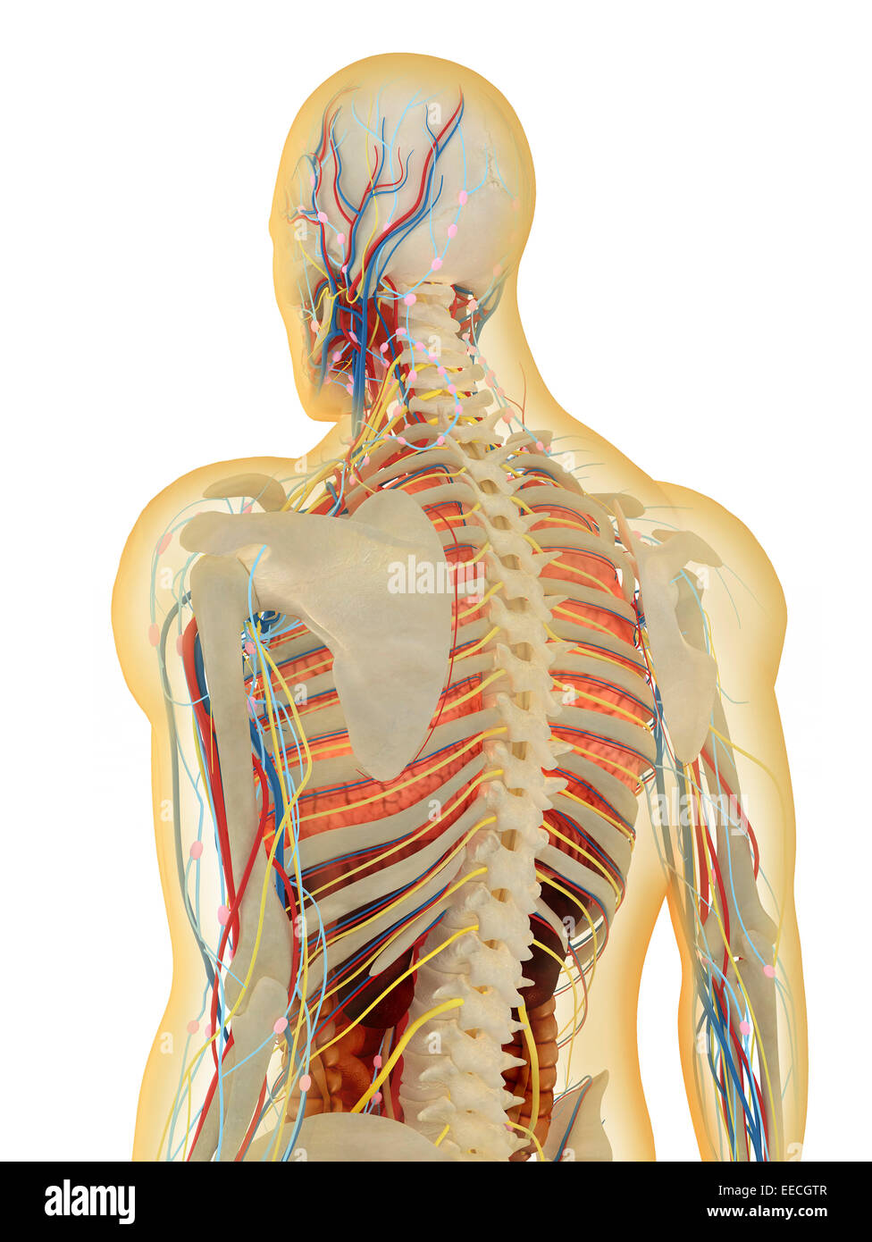 Transparent Human Body With Internal Organs Nervous System Stock