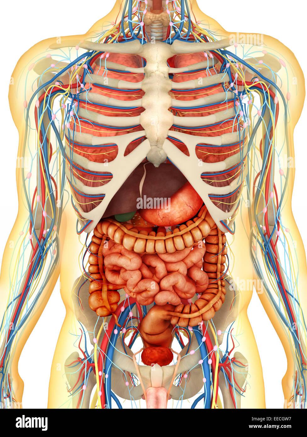 Transparent human body with internal organs nervous system stock transparent human body with internal organs nervous system lymphatic system and circulatory system ccuart Choice Image