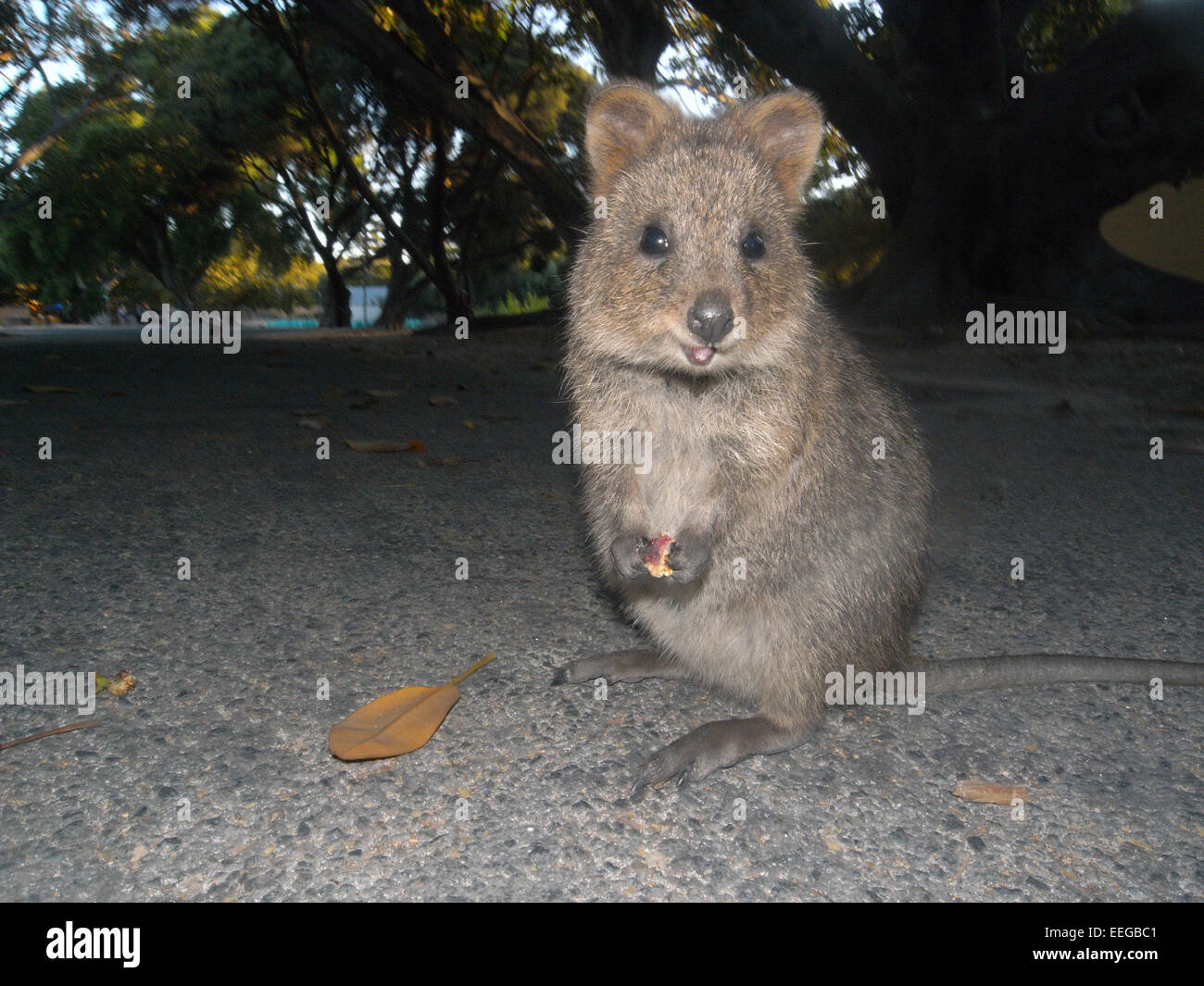 Quokka (Setonix brachyurus) eating fallen figs in the street, Rottnest Island, Western AustraliaStock Photo