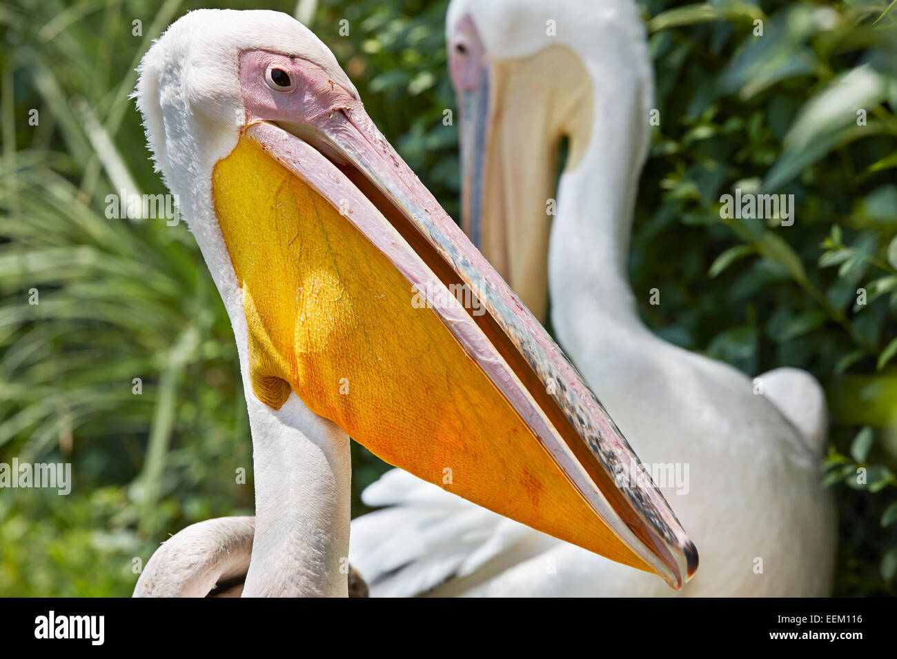 Great white pelican. Scientific name: Pelecanus onocrotalus. - Stock Image