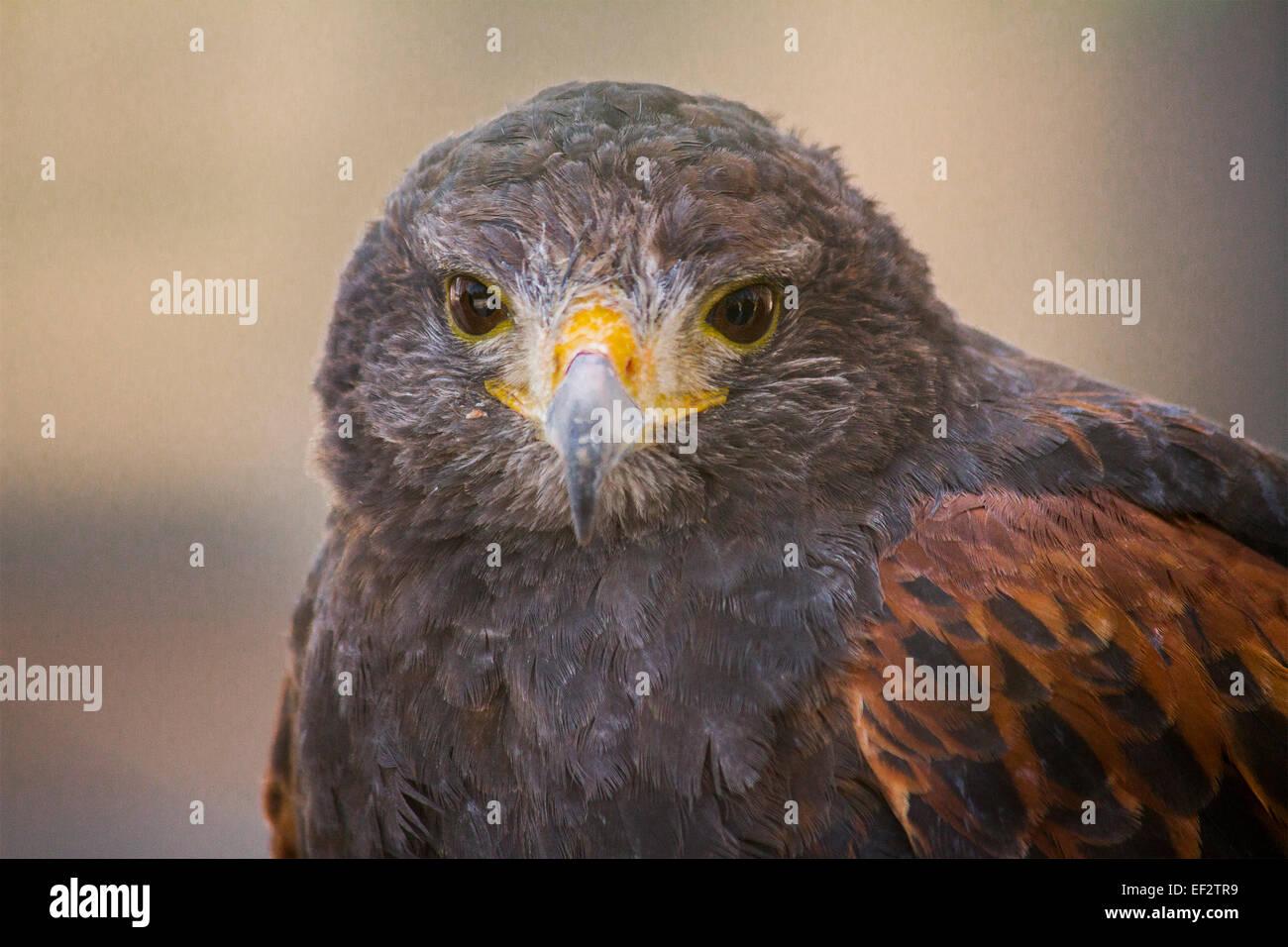 front-facial-view-of-a-harris-hawk-EF2TR9.jpg