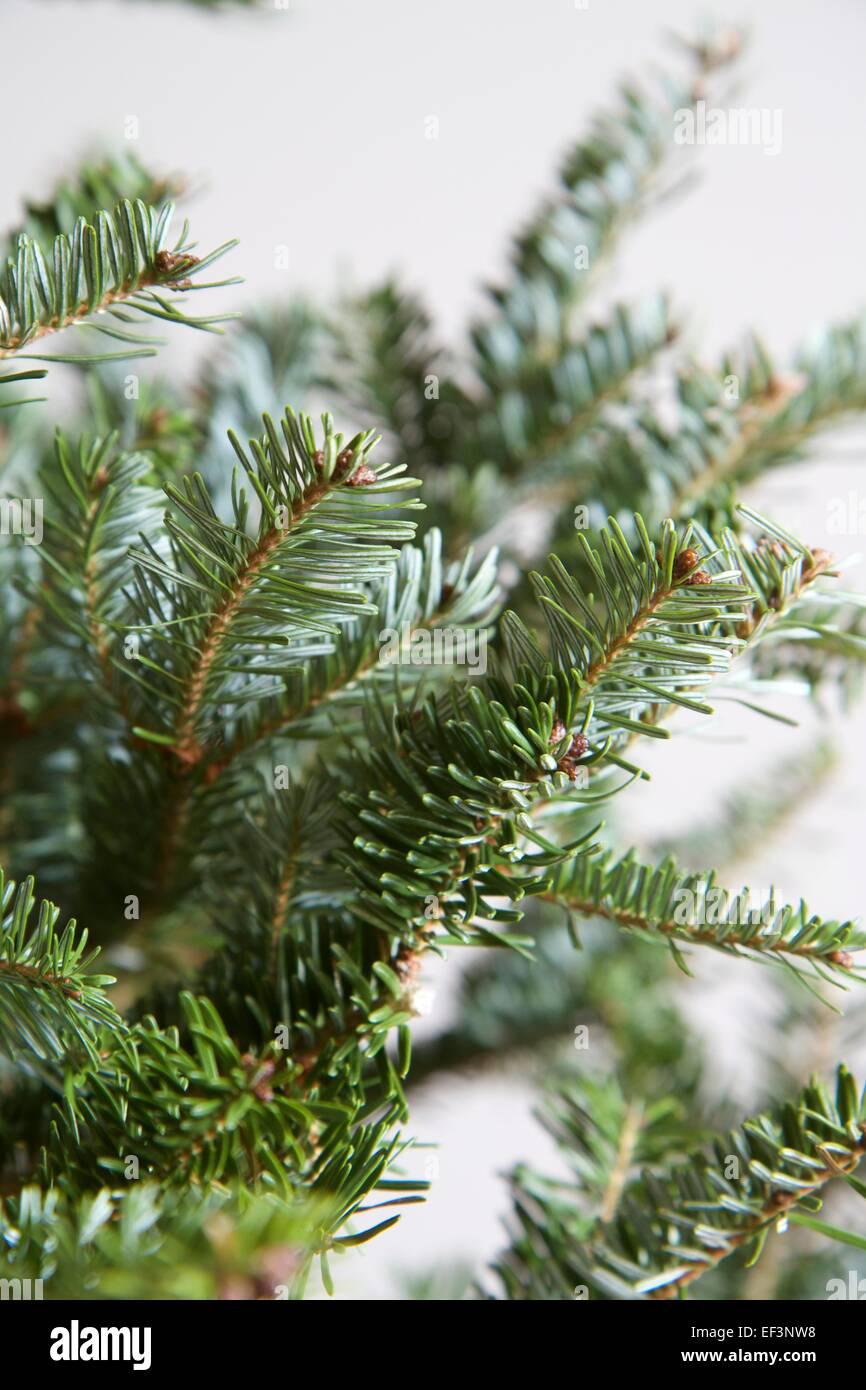 Nordmann Fir, Abies Nordmanniana. Close-up of branches of Christmas ...