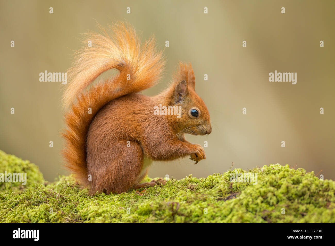 Wild Red Squirrel (Sciurus vulgaris), on a mossy fallen Oak tree, photographed on the Isle of Wight, UK Stock Photo