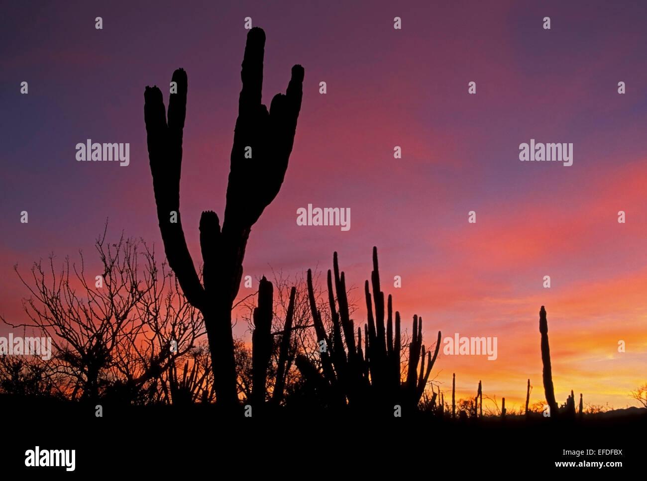 Silhouetted cactus and pink orange sky, Todos Santos, Baja California Sur, Mexico - Stock Image