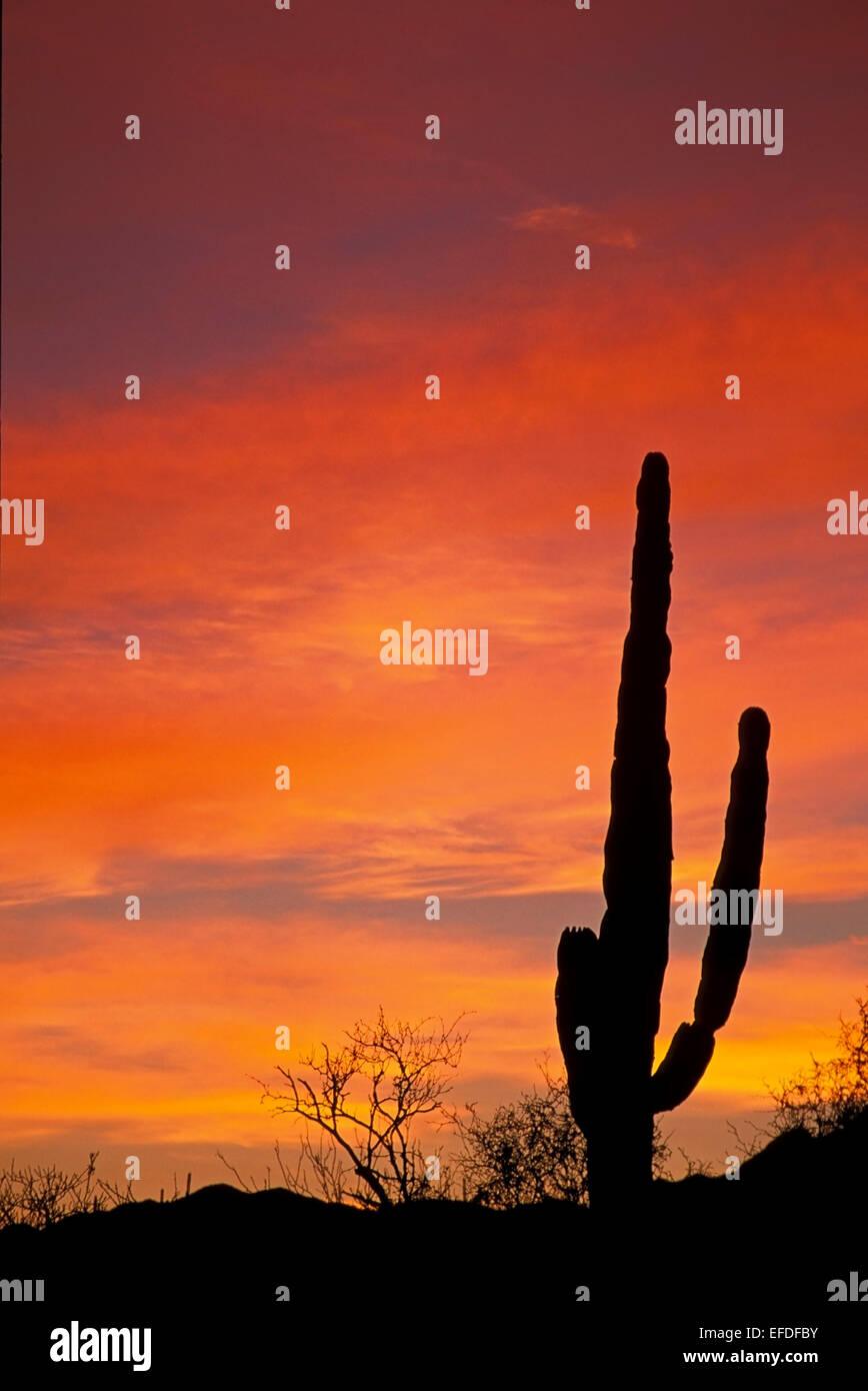 Silhouetted cactus and orange sky, Todos Santos, Baja California Sur, Mexico - Stock Image
