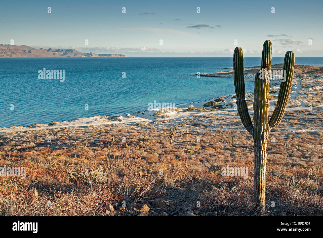 Cactus and sand dunes, near El Tecolote Beach, La Paz, Baja California Sur, Mexico - Stock Image