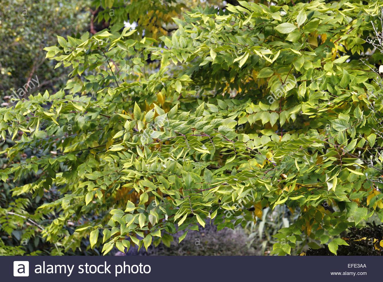 Gymnocladus dioica -Kentucky Coffee Tree Stock Photo: 78371282 - Alamy