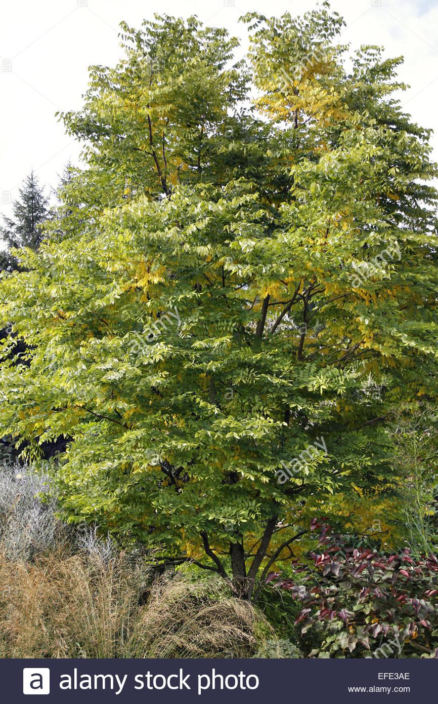 Gymnocladus dioica -Kentucky Coffee Tree at RHS Rosemoor Stock Photo ...