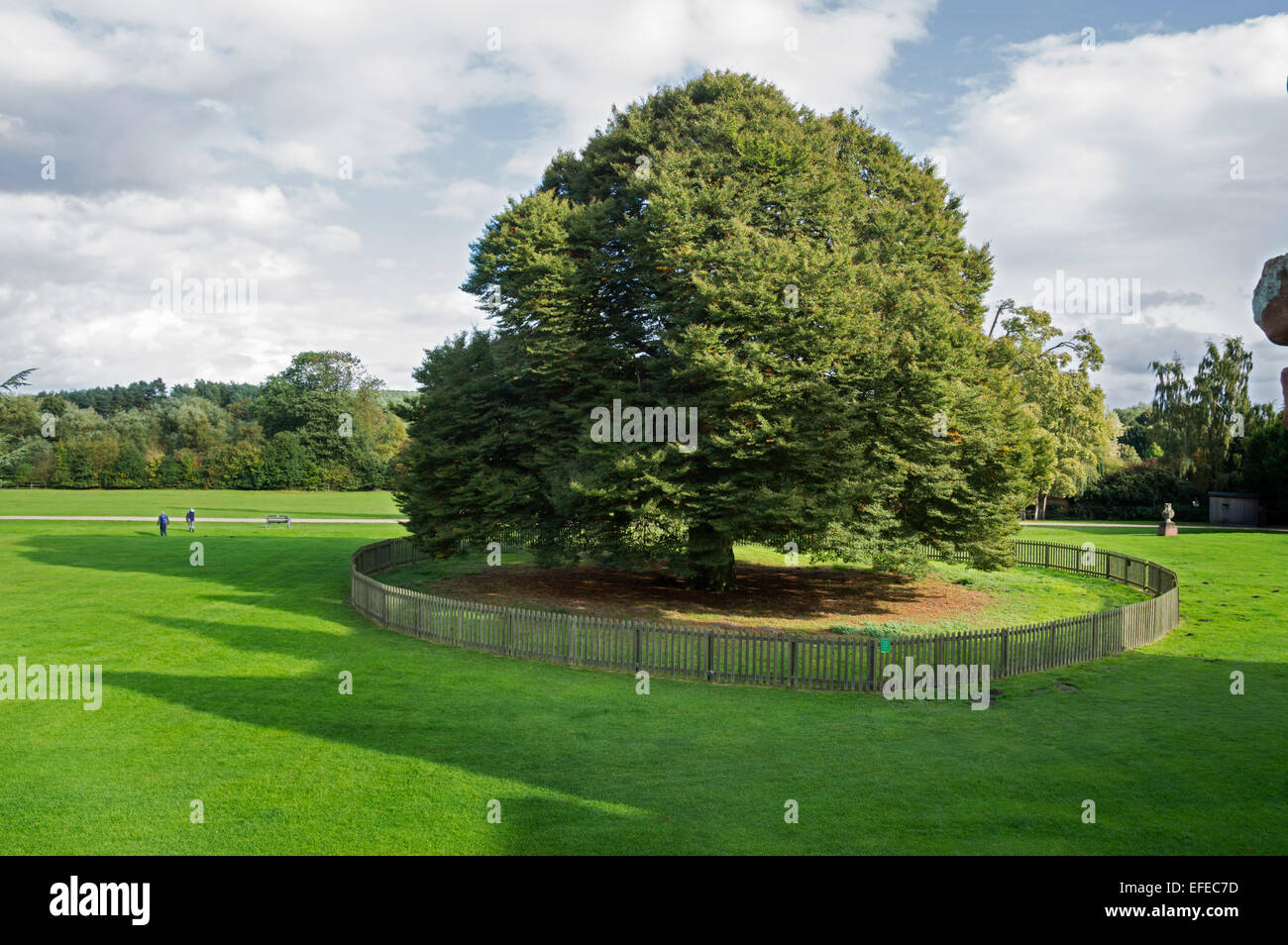 Tree, Rufford; Abbey; 12th; century; Ollerton; Nottinghamshire; UK; - Stock Image