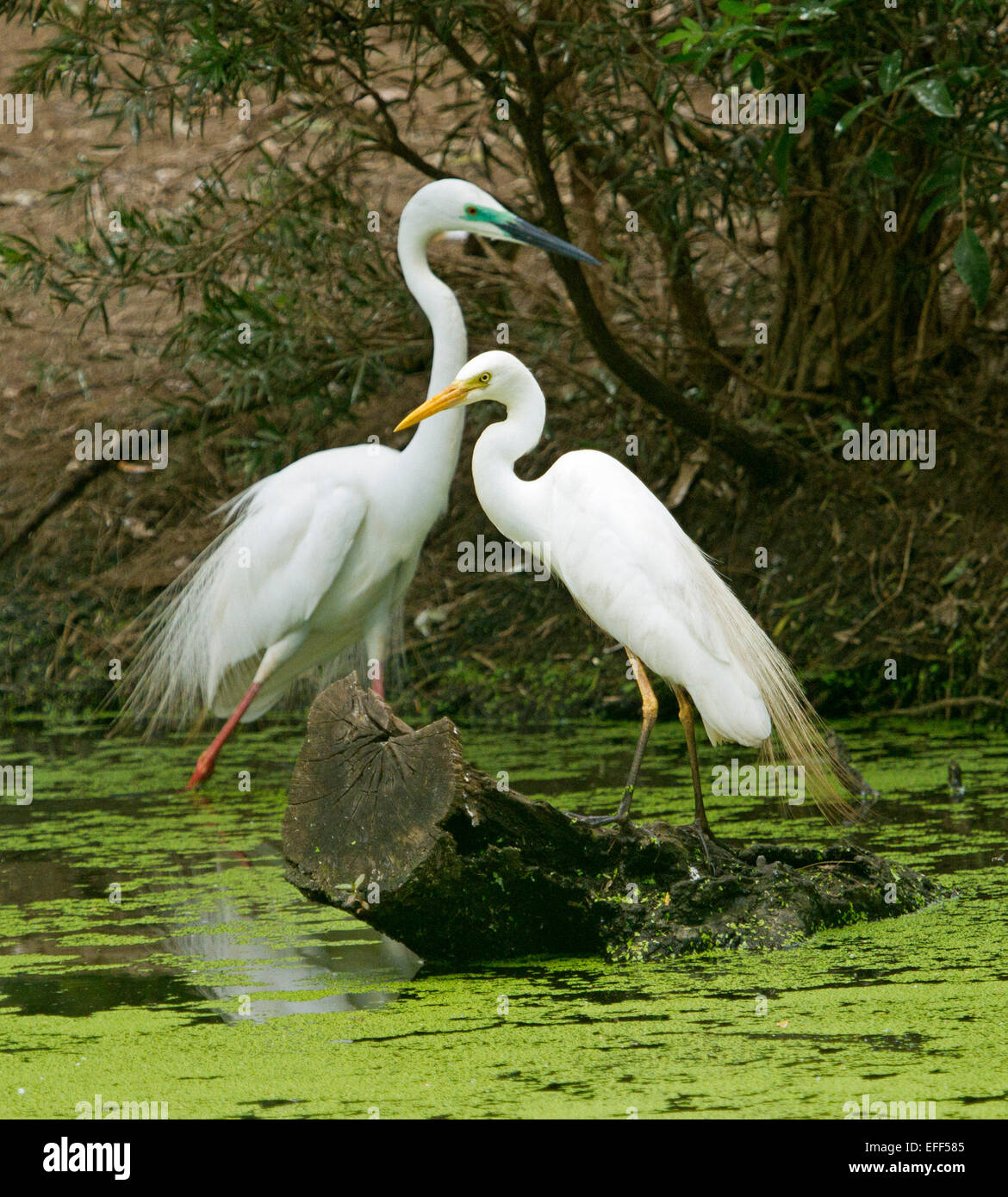 Two Australian great egrets, Ardea modesta, male and female in breeding plumage on log in water of wetlands at rookery Stock Photo