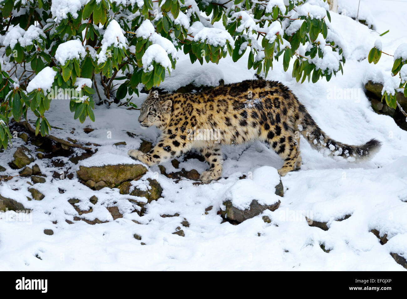 Snow Leopard (Panthera uncia), juvenile, walking on snow-covered rock, captive, Switzerland - Stock Image