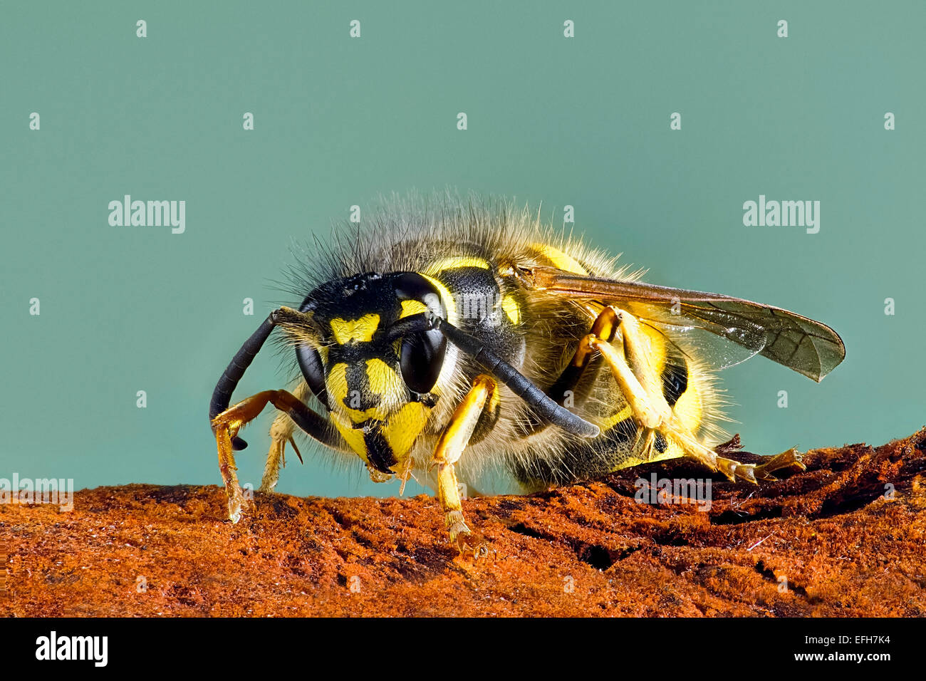 close-up-of-common-wasp-vespula-vulgaris