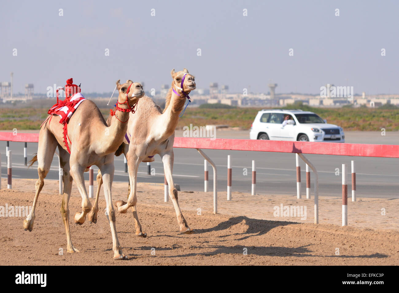 Camels racing on a desert track in Abu Dhabi.  The robot jockeys are controlled from the human jockey in the chase - Stock Image