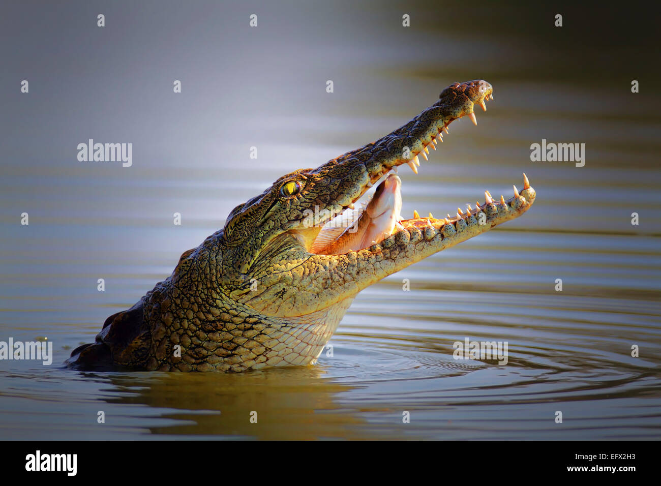 Nile crocodile swallowing a fish; crocodylus niloticus - Kruger National Park - Stock Image