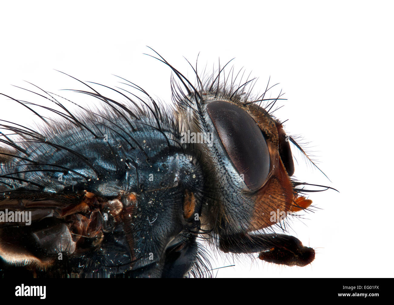 macro-image-of-bluebottle-head-calliphor