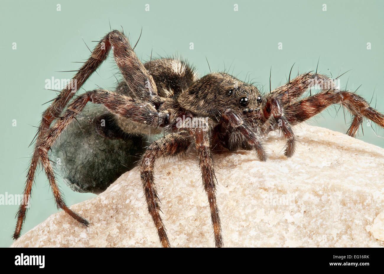bmdbb6-female-spotted-wolf-spider-pardos