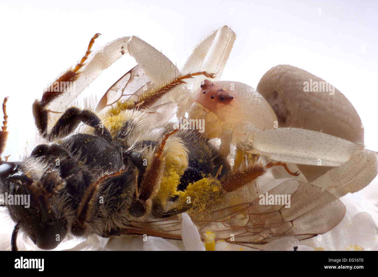 bnexbc-crab-spider-misumena-vatia-feedin