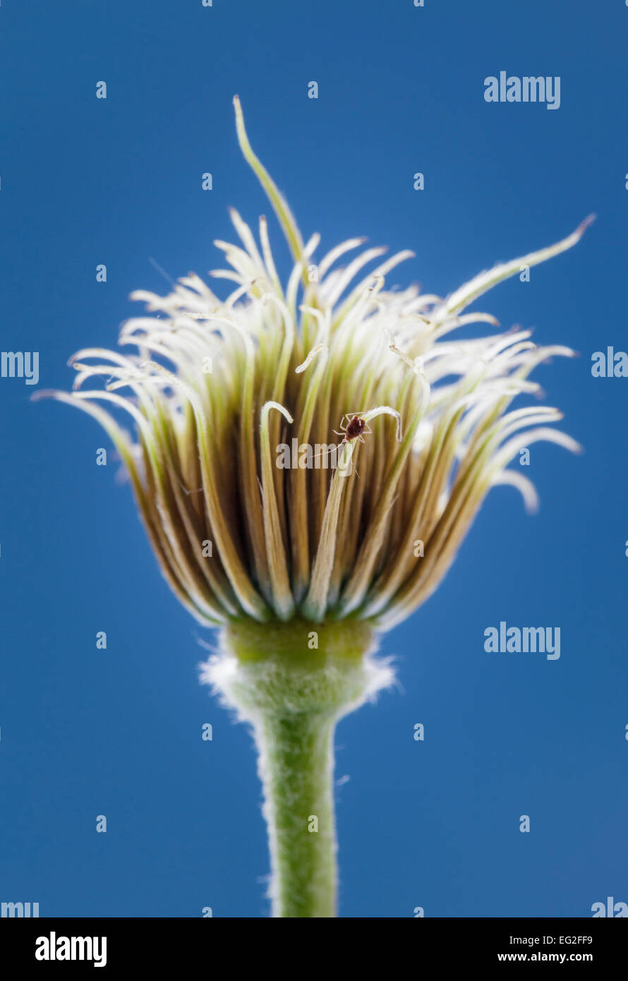 Clematis Seed Head  Nelly Moser - Stock Image