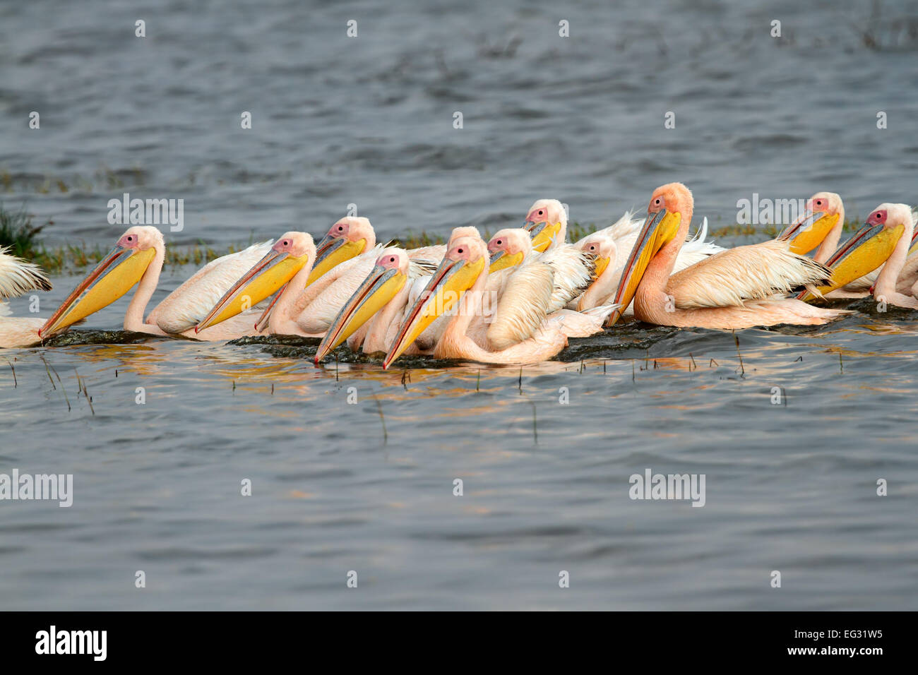 Great white pelicans (Pelecanus onocrotalus) swimming, Lake Nakuru National Park, Kenya - Stock Image