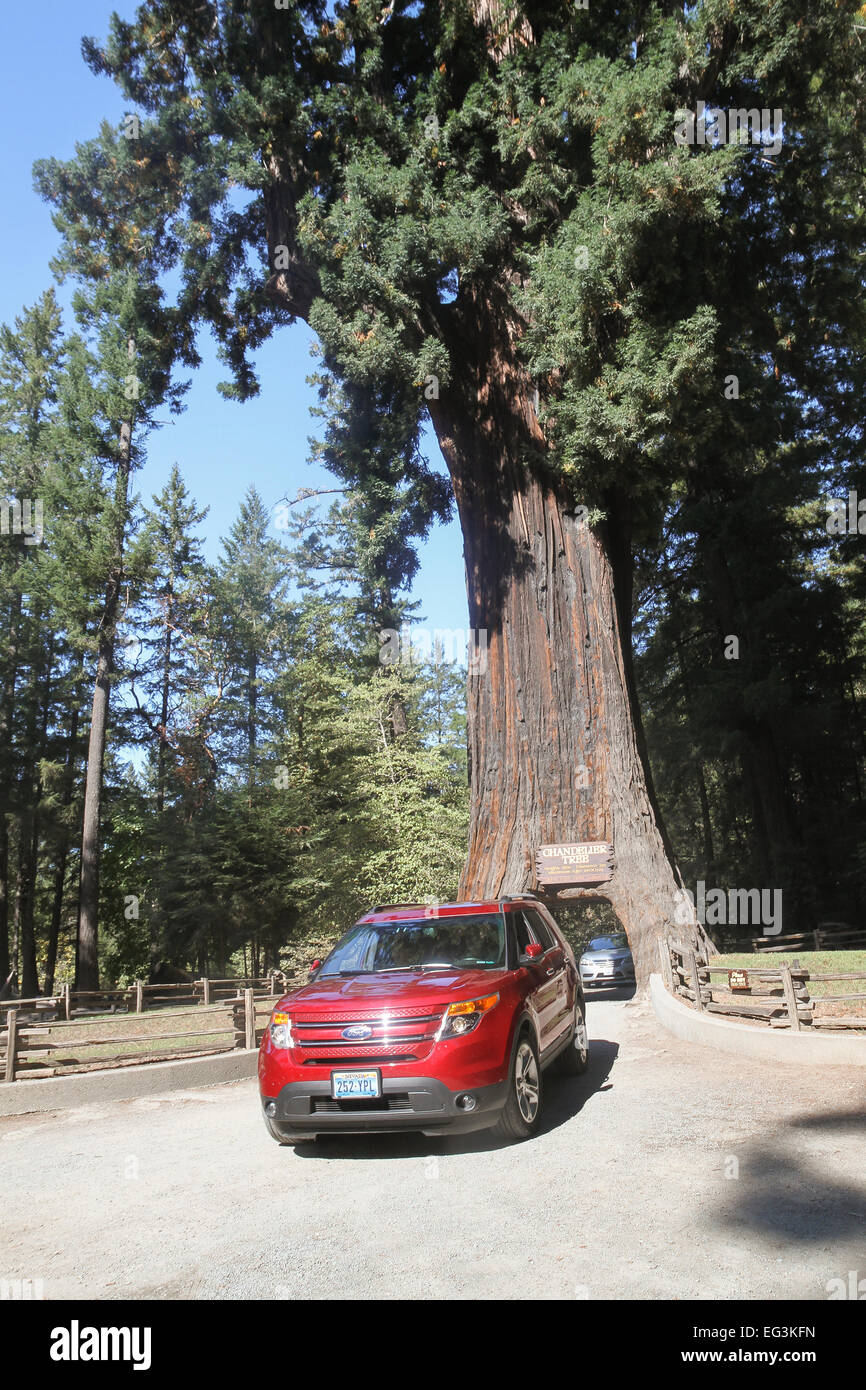 Drive thru tree stock photos drive thru tree stock images alamy vehicles drives through the chandelier tree in leggett california united states stock image arubaitofo Choice Image