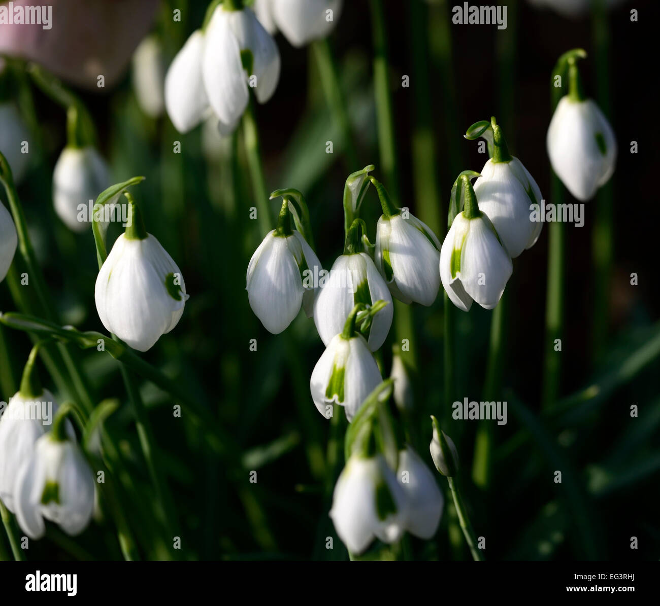 galanthus cordelia greatorex double snowdrops flowers green markings