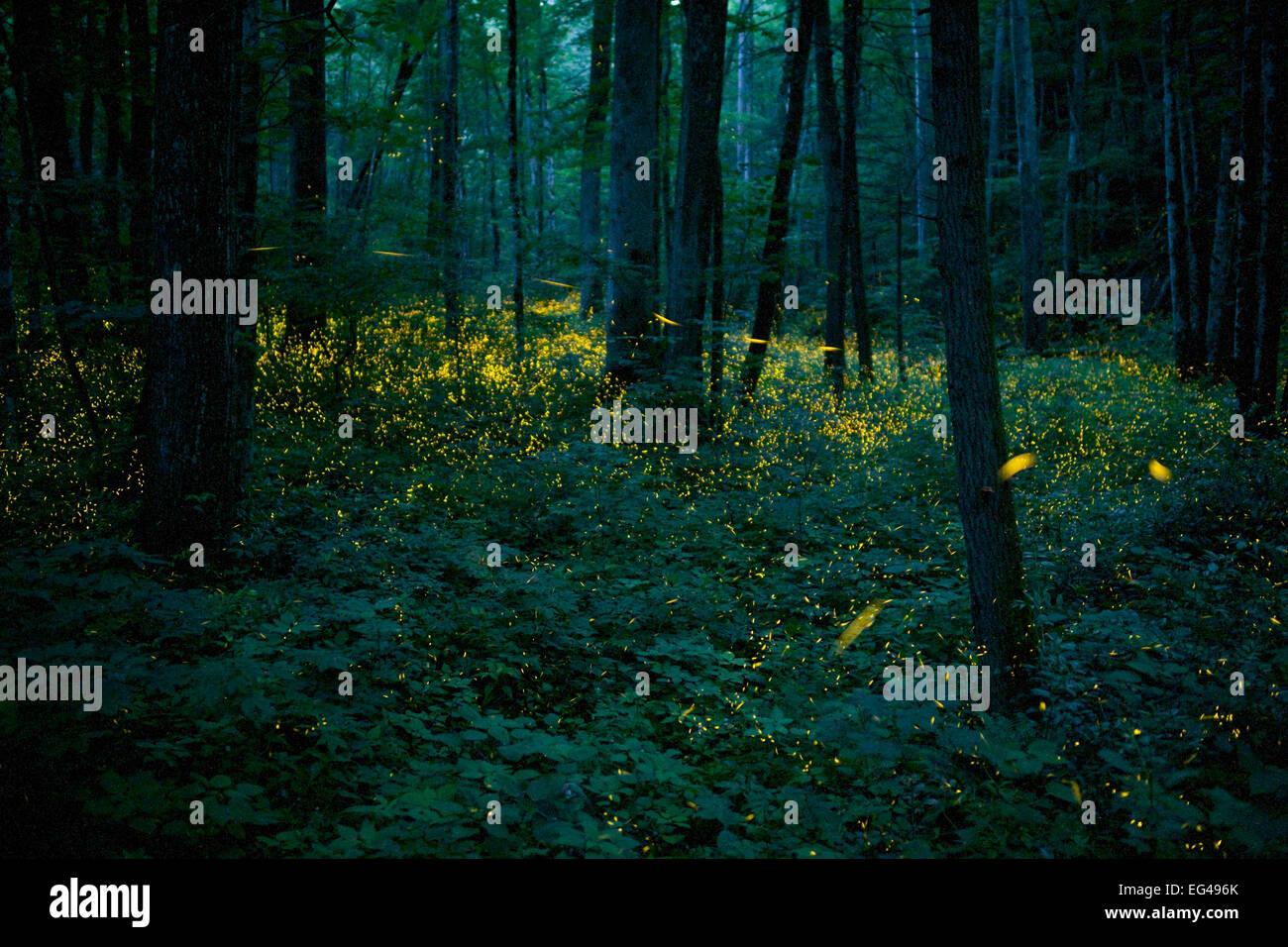 Syncronous Fireflies (Photinus carolinus) illuminate the lush forests Smoky Mountains National Park Tennesse USA Stock Photo