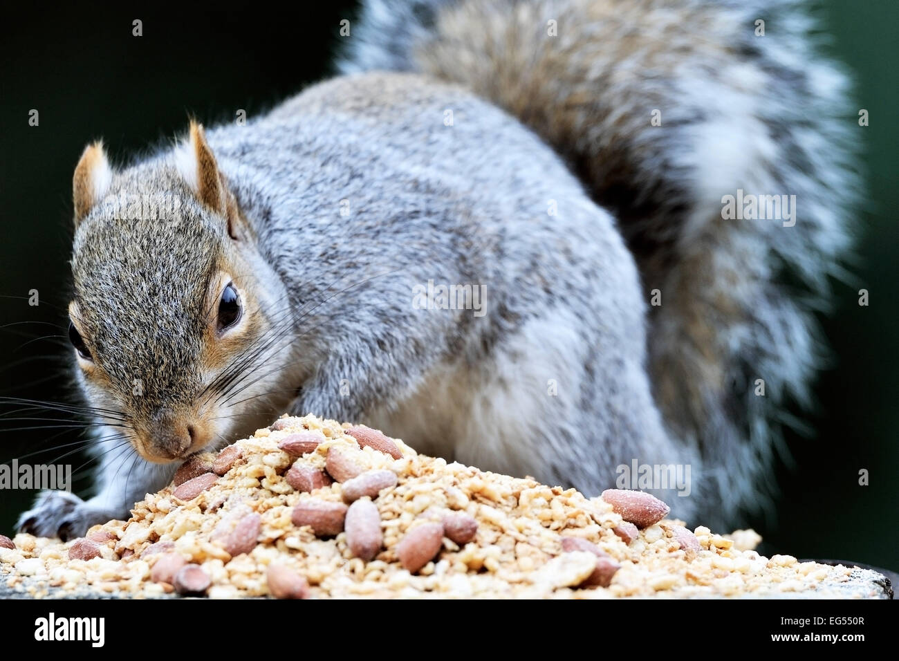 grey-gray-squirrel-sciurus-carolinensis-