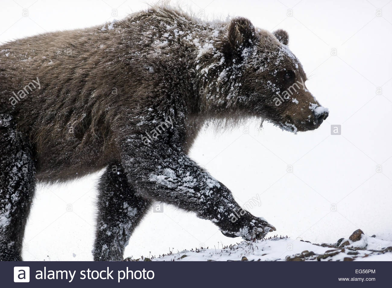 grizzly-bear-ursus-arctos-horribilis-facing-the-blizzard-in-denali-EG56PM.jpg
