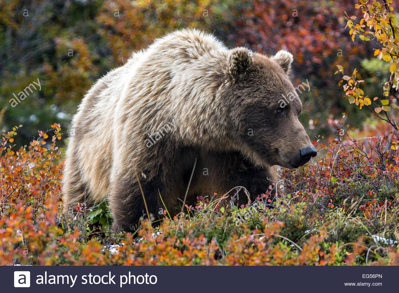 grizzly-bear-ursus-arctos-horribilis-fem