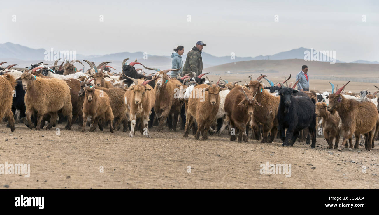 Why do the Mongols paint the horns of animals 26