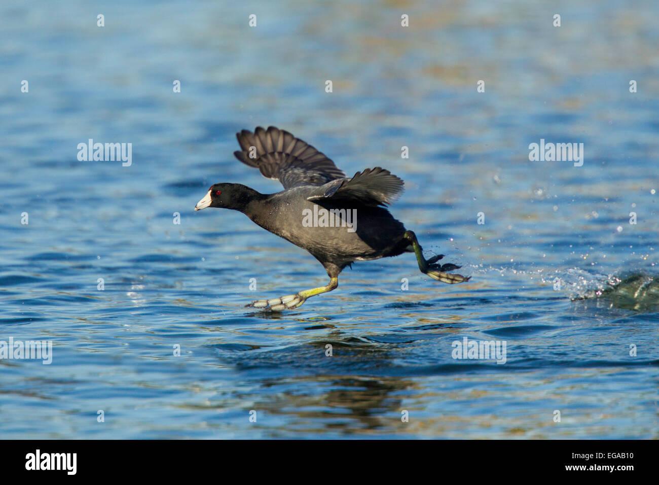 American Coot  Fulica americana Tucson, Arizona, United States 13 February       Adult running to take flight.  - Stock Image