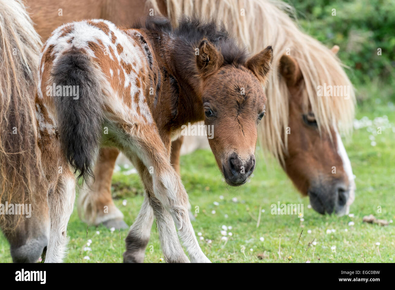 New Forest Ponies and Foal in National Park Stock Photo
