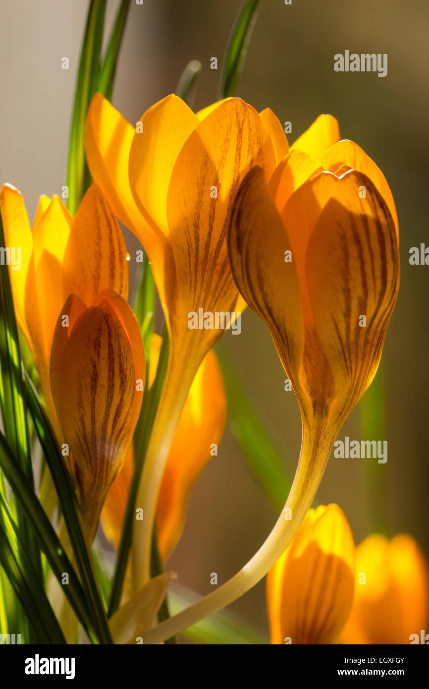 bronze-striped-yellow-flowers-of-the-late-winter-flowering-crocus-EGXFGY.jpg