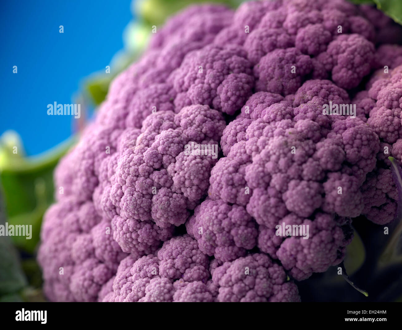purple cauliflower - Stock Image