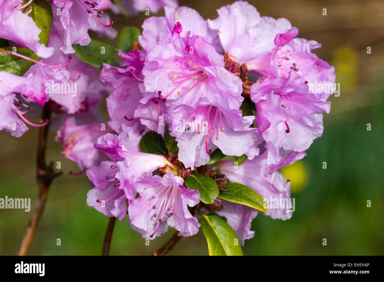 early-spring-flowers-of-the-moupinense-x-dauricum-hybrid-rhododendron-EH5YAP.jpg