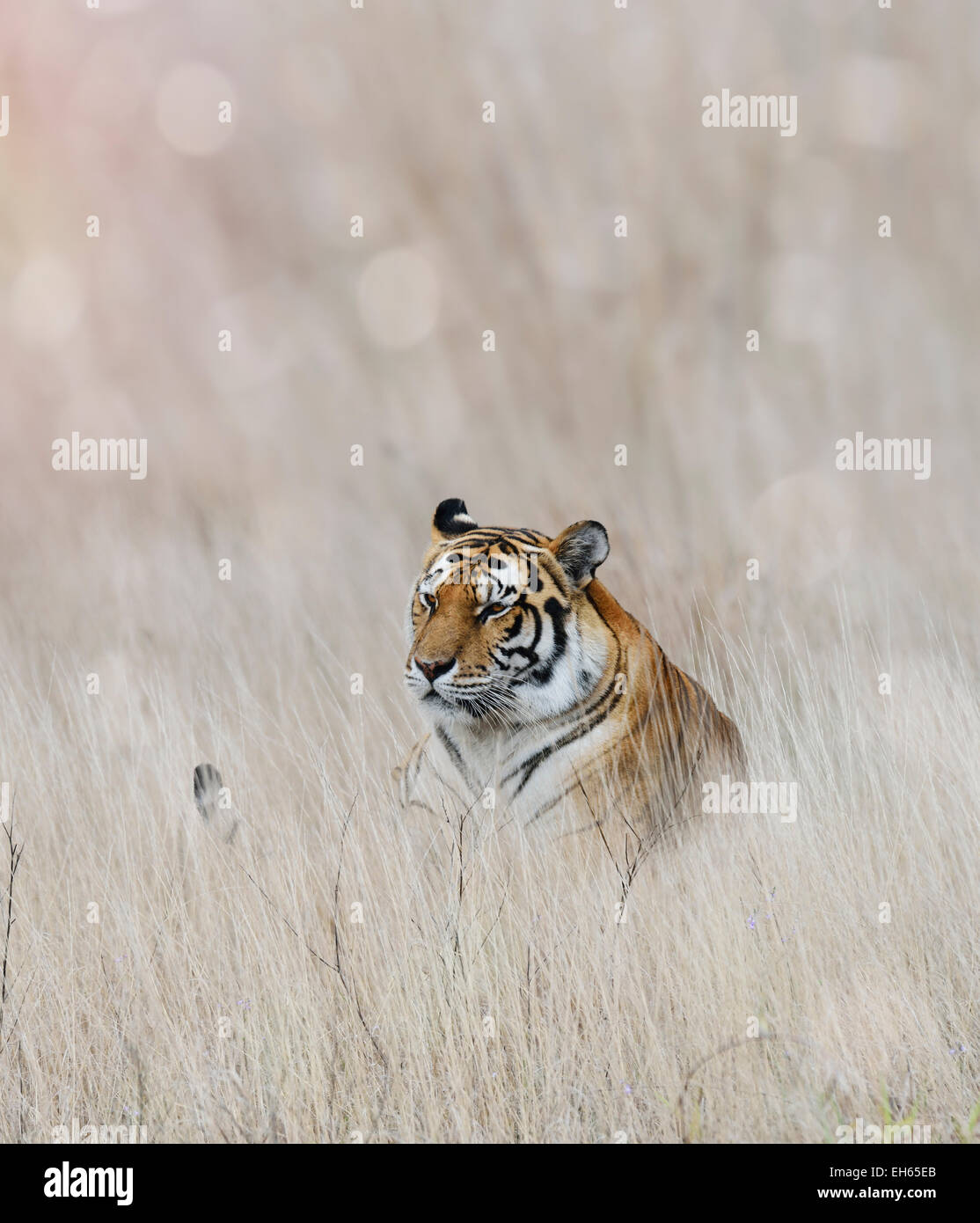 Tiger Resting In The Grass - Stock Image