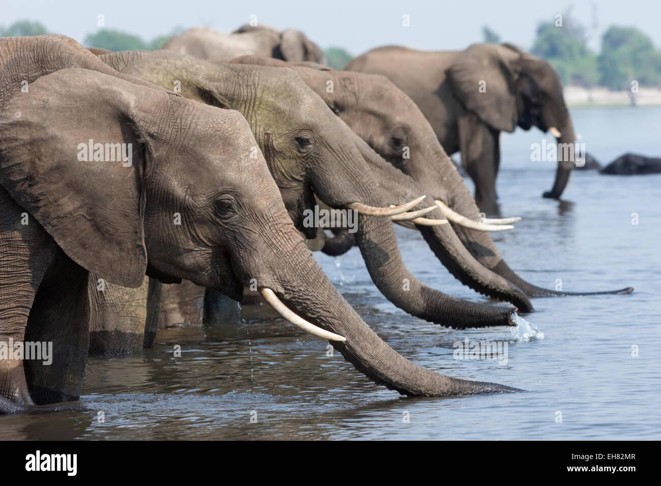 African elephants (Loxodonta africana) drinking, Chobe National Park, Botswana, Africa - Stock Image