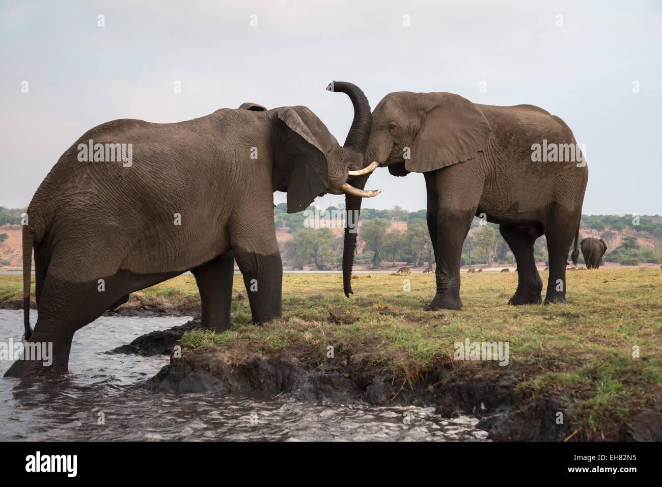 African elephants (Loxodonta africana), Chobe National Park, Botswana, Africa - Stock Image