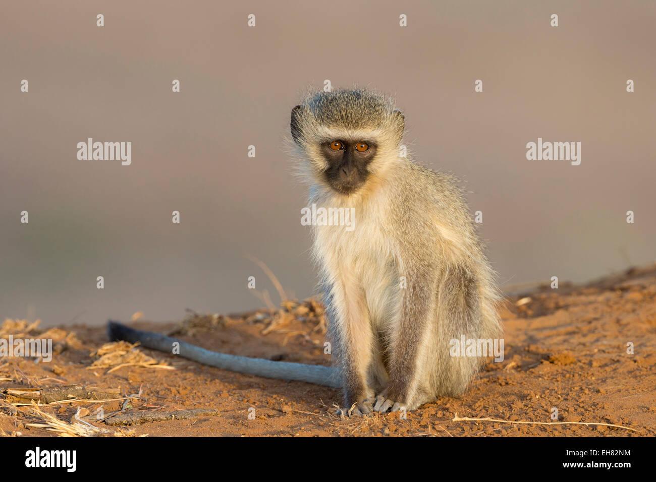 Vervet monkey (Cercopithecus aethiops), Kruger National Park, South Africa, Africa - Stock Image