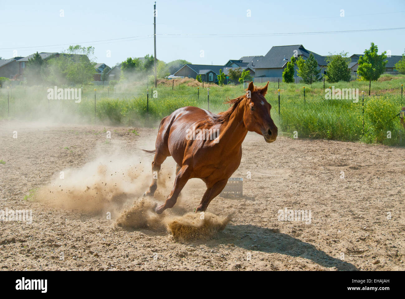American quarter horse running - Stock Image