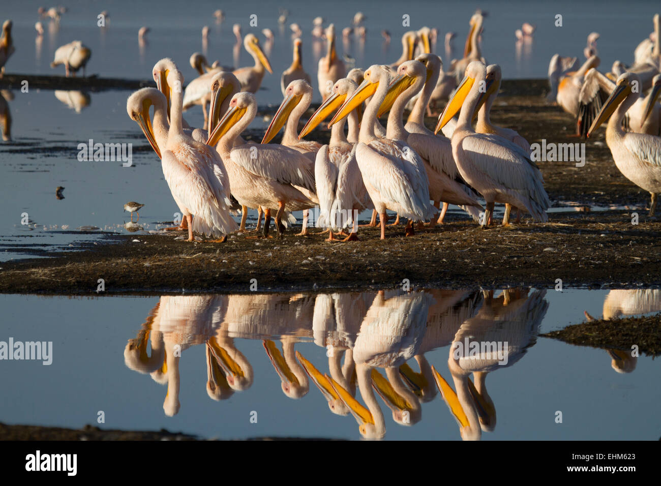 Great white pelicans (Pelecanus onocrotalus) - Stock Image