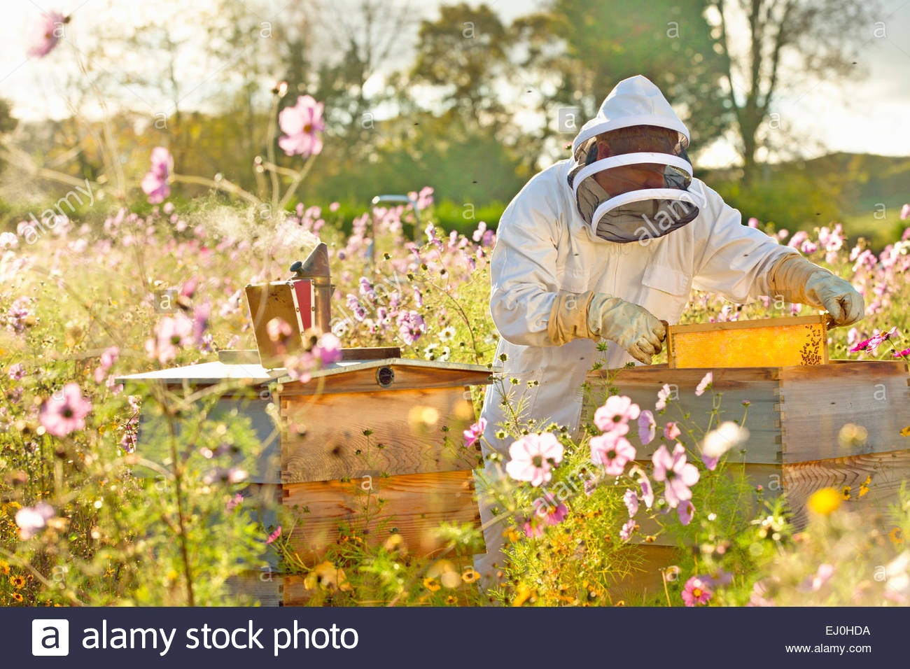 Beekeeper removing frame from beehive in field full of flowers - Stock Image