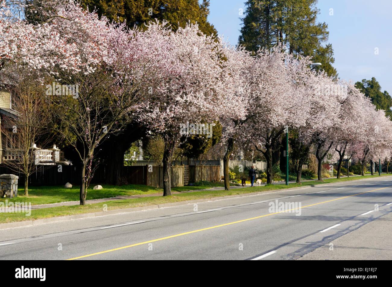 blossoming-japanese-ornamental-cherry-and-plum-trees-lining-west-16th-EJ1EJ7.jpg