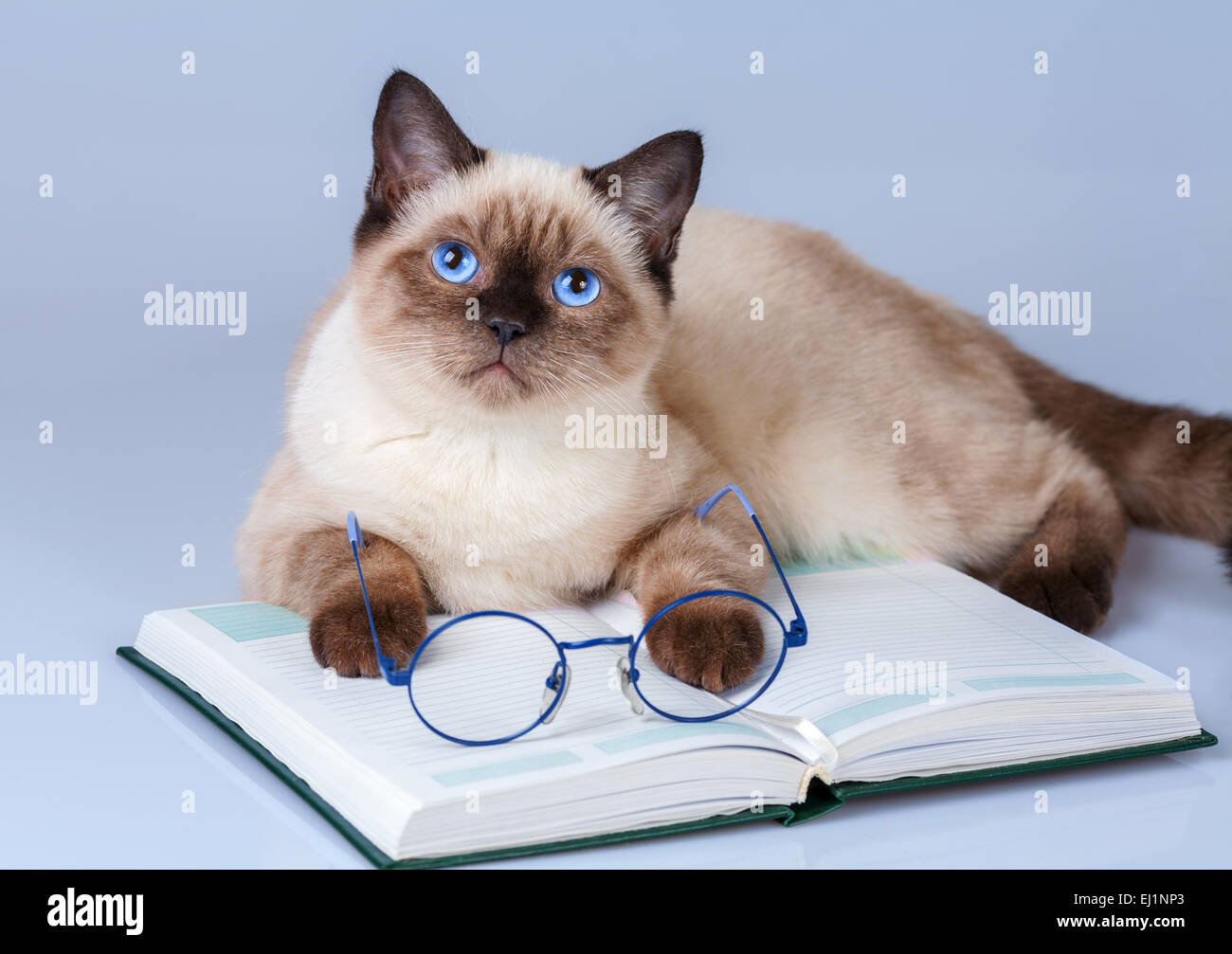 Cute business cat wearing glasses reading notebook (book) Stock Photo