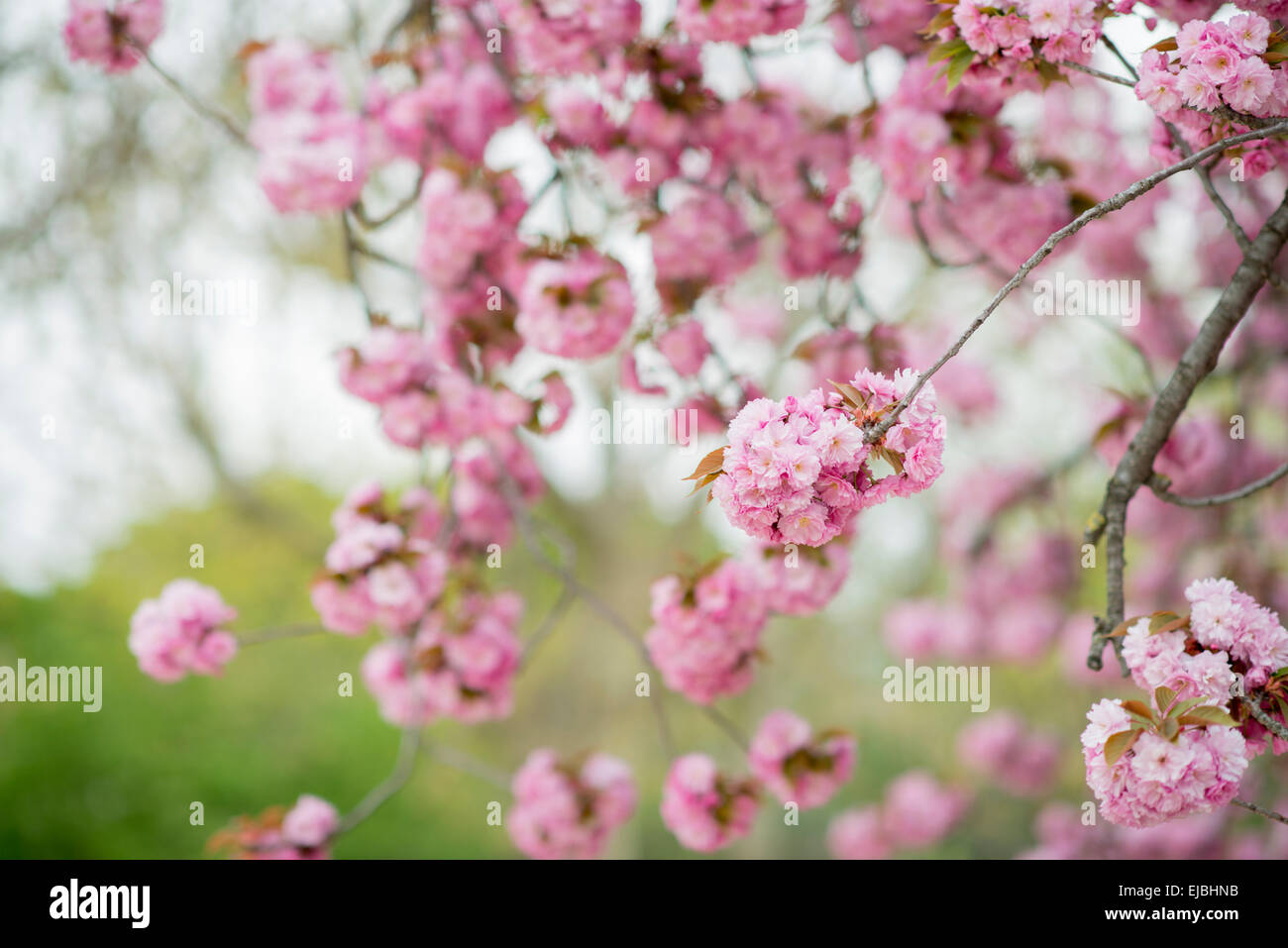 Blossoms of Kwanzan Cherry Tree in the Jardin des Plantes, Paris, France, spring - Stock Image