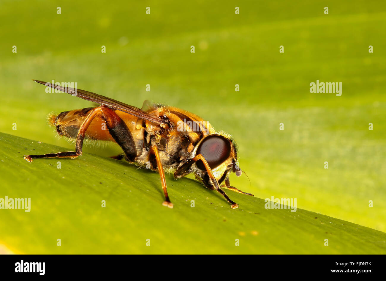 stacked-image-of-a-garden-hoverfly-helophilus-pendulus-at-rest-on-EJDN7K.jpg