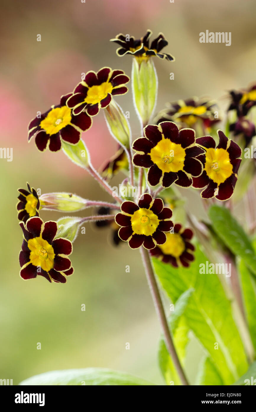 Flower heads of the small gold laced oxlip, Primula elatior 'Victoriana Gold Lace' Stock Photo