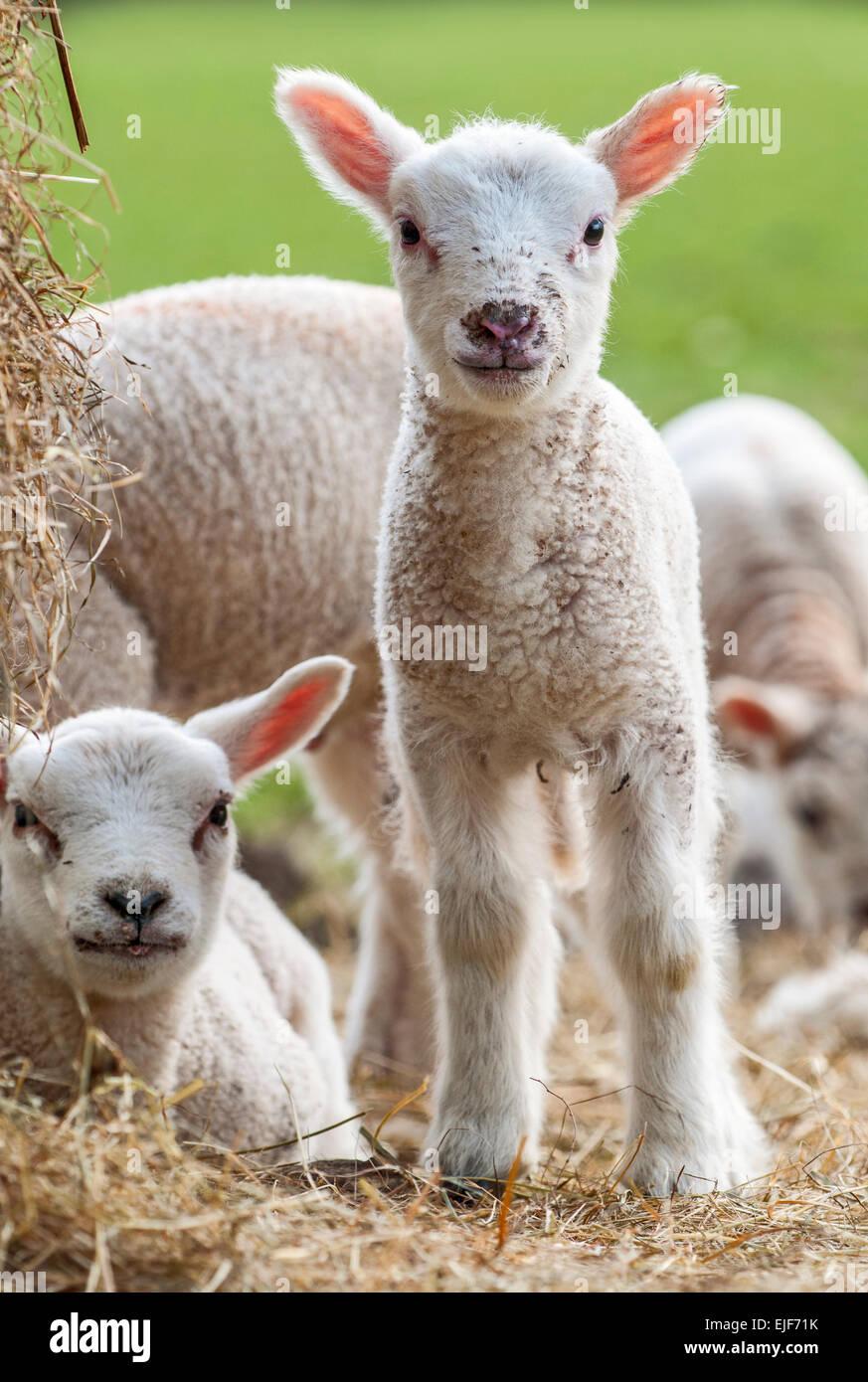 Spring Lambs - Stock Image